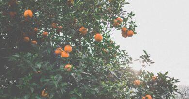 patio fruit trees